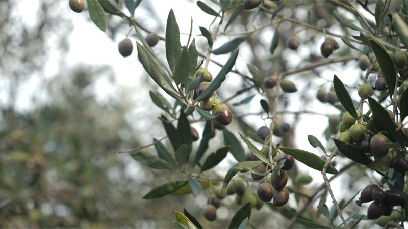 Olivenöl - das flüssige Gold Kretas Teil 2
